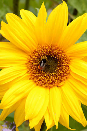 Bumble bee pollinating sunflower in summer
