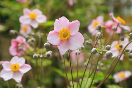 Star-shaped Anemone Japonica blooming in garden