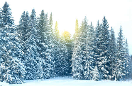 Amazing panoramic view of wild winter forest covering by snow, sunset in spruce forest during snowfall, landscape Zdjęcie Seryjne