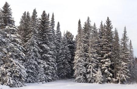 Snowy wild winter forest