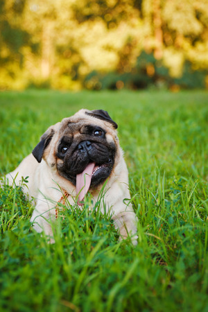 Little pug lying on a grass in a summer park