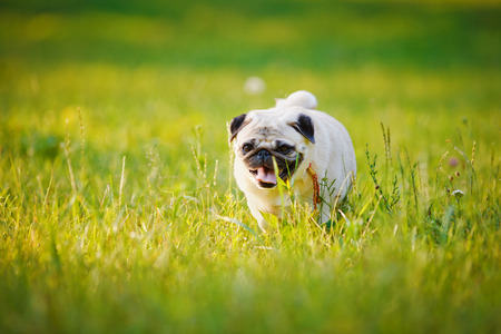 Pug walking on a grass in a summer park. photo
