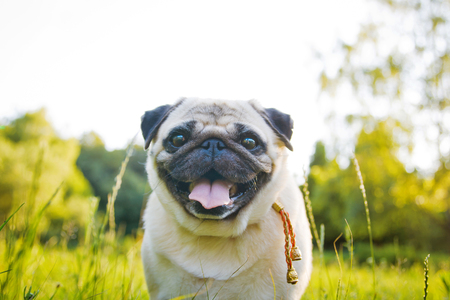 Funny pug walking in a summer park at sunset.