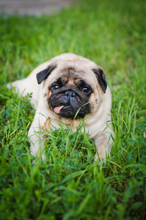 ugliness: Funny pug lying on a grass in a summer park.