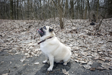 fawn: Funny Fawn Pug Walking in Park.