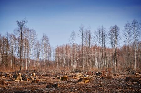 forest wood: Pine forest cutting down overgrown with birch trees.