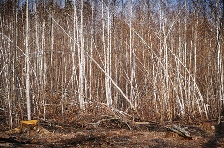 deforestacion: Deforestation in the pine forest covered with birch trees.