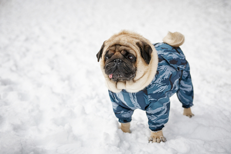 Little sad pug in clothing walk in a winter park
