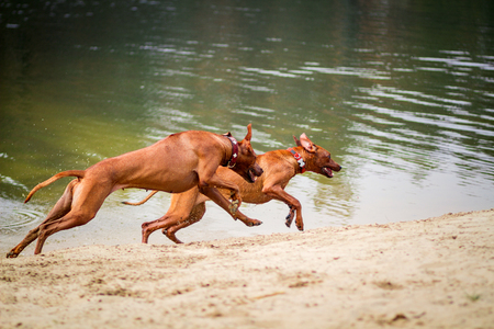 Two rhodesian ridgebacks walking, running and playing on the bank of a pond. Stock Photo