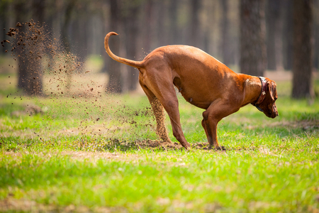 Rhodesian ridgeback walking outdoors, playing and diging a hole in the ground.
