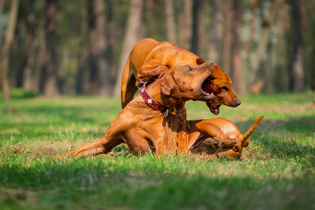 Two rhodesian ridgebacks walking in a park, playing and fighting.