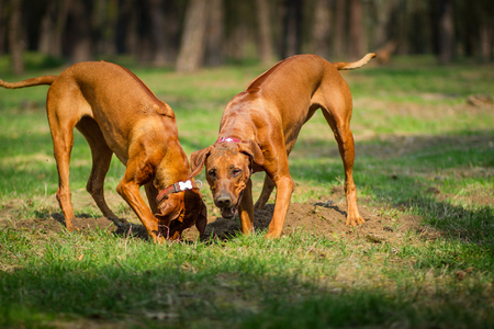 Two rhodesian ridgebacks walking in a park, playing and diging a hole in the ground. Stock Photo