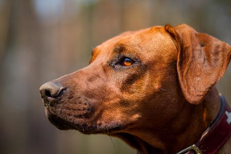 Portrait of a rhodesian ridgeback.