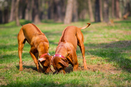 Two rhodesian ridgebacks walking in a park, playing and diging a hole in the ground. Banco de Imagens