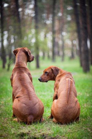 Two rhodesian ridgebacks sitting on the grass in the park with their backs to the viewer. On their backs can be seen strips of dog hair the so-called ridge. Banco de Imagens