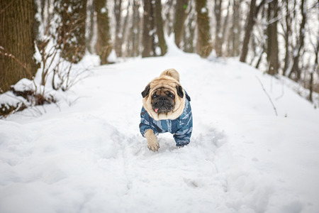 A little sad pug running in a winter park.