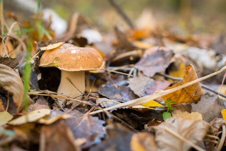 A wild mushroom in the forest makes its way through the fallen leaves.