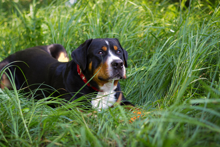 The great swiss mountain dog lies in the grass and breathes with his tongue hanging out.