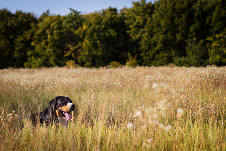 The great swiss mountain dog lying in the grass and breathes with his tongue hanging out. The picture taken in summer in a field near the forest edge. Stock Photo