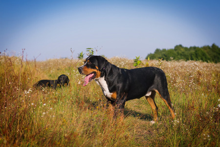 The great swiss mountain dog and labrador retriever walking in the summer field.