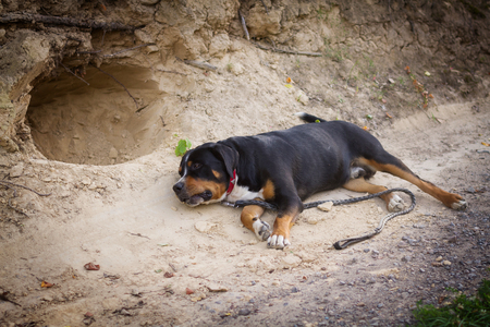 The great swiss mountain dog does not want to walk and lies on the road, does not obey the owner. Stock Photo