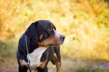 The great swiss mountain dog standing in the grass. Stockfoto