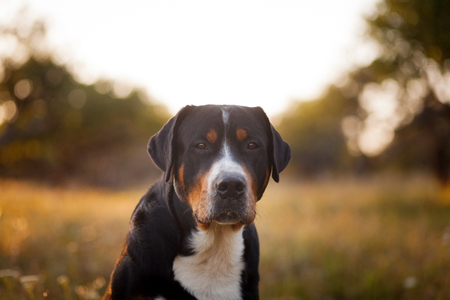 The great swiss mountain dog sitting in the grass and breathes with his tongue hanging out in sunset. The picture taken in summer in an old garden.