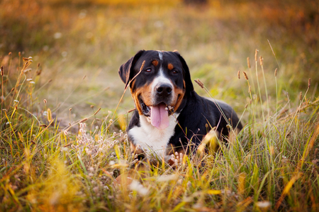 The great swiss mountain dog lying in the grass and breathes with his tongue hanging out. The picture taken in summer in an old garden.