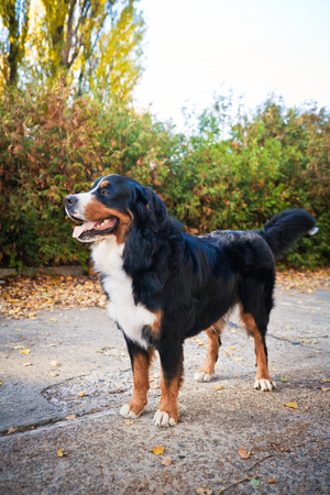 Bernese mountain dog walking in an autumn park, stands on the sidewalk and looks at the owner.