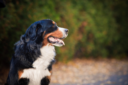Bernese mountain dog walking in an autumn park, sits on the sidewalk and looks at the owner. Stock Photo