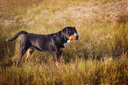 The great swiss mountain dog standing in the grass in summer field and breathes with his tongue hanging out.