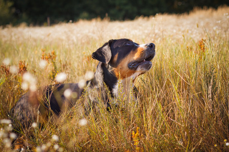 The great swiss mountain dog lying in the grass and looking up. The picture taken in summer in a field near the forest edge on the hillside. Stock Photo