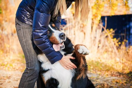 The bernese mountain dog walking in autumn park and playing with his owner. The girl's face is outside the picture.