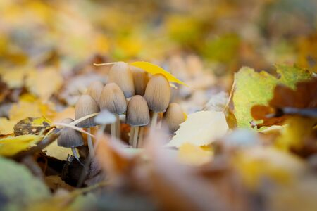 Toadstools in the autumn forest. False honey mushrooms.