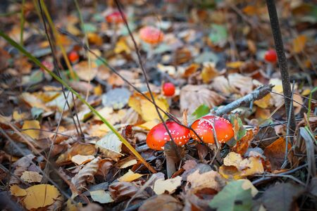 Amanita Muscaria, poisonous mushroom. Photo has been taken in the natural forest background. Stock Photo