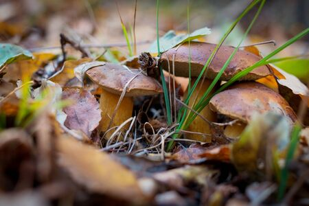 Wild mushrooms in the forest make its way through the fallen leaves.
