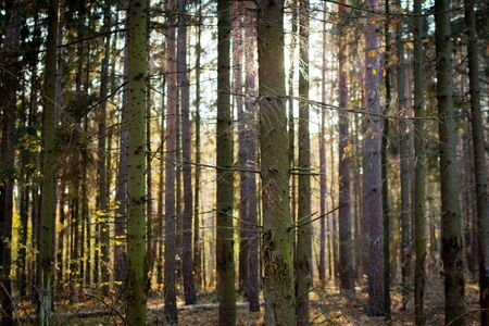 Autumn spruce forest at sunset. Useful as background. Stock Photo