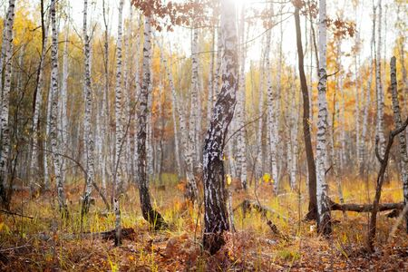 Autumn birch forest at sunset. Useful as background. Stock Photo