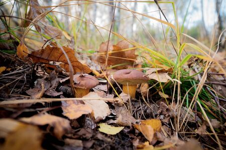 Two small mushrooms in the forest make its way through the fallen leaves. Stock Photo
