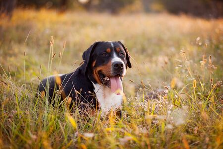 The great swiss mountain dog lying in the grass and breathes with his tongue hanging out.