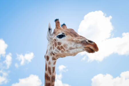 The giraffe looks down on the visitors of the zoo. Focus on giraffe nose.