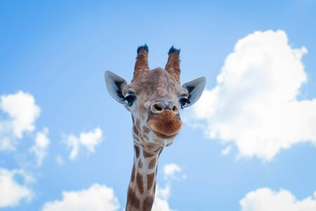 The giraffe looks down on the visitors of the zoo. Focus on giraffe eyes.