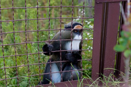 A little white-nosed monkey sits in a cage and looking at the visitors of the zoo. It keeps front paws behind bars.