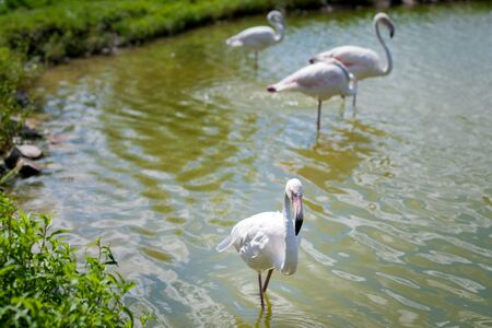 Several flamingos walk along the pond at the zoo