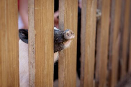 Little pigs stick their noses out through the slit of the fence in the zoo and wait for handouts from visitors. Stock Photo