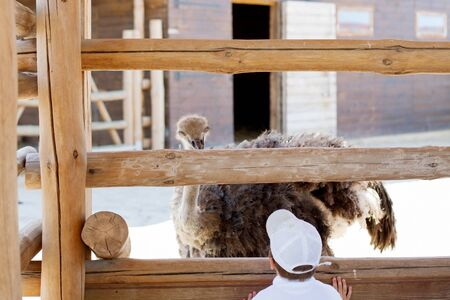 Ostrich is looking from behind a fence at a little boy.