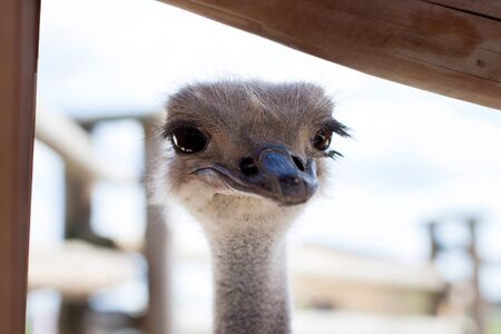 Ostrich looks from behind a fence at visitors to the zoo. Stock Photo