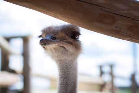 An ostrich is looking from behind a fence at zoo visitors. Focus on the beak of a bird. Stock Photo