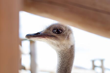 An ostrich is looking from behind a fence at zoo visitors.  Stock Photo