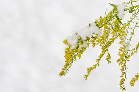 yellow flowers of Solidaginis herba are under snow, close-up Stock Photo